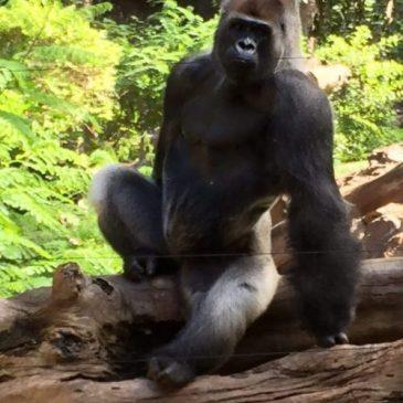 Gorilla auf Baum